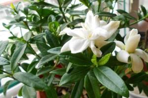 5月末养栀子做好这4点叶片绿莹莹开花量大花香浓郁