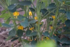 你种的花生产值高仍是低从开花期就能看出来了农户别做错了