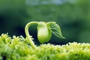植保技能︱植物生长素概述